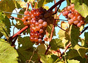 Grapes at Shelburne Vineyard