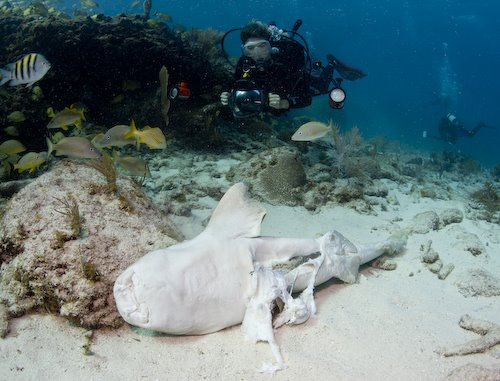 Nurse Shark at Snapper Ledge