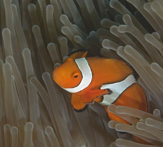 Clownfish sheltering in an anemone from Kimbe Bay
